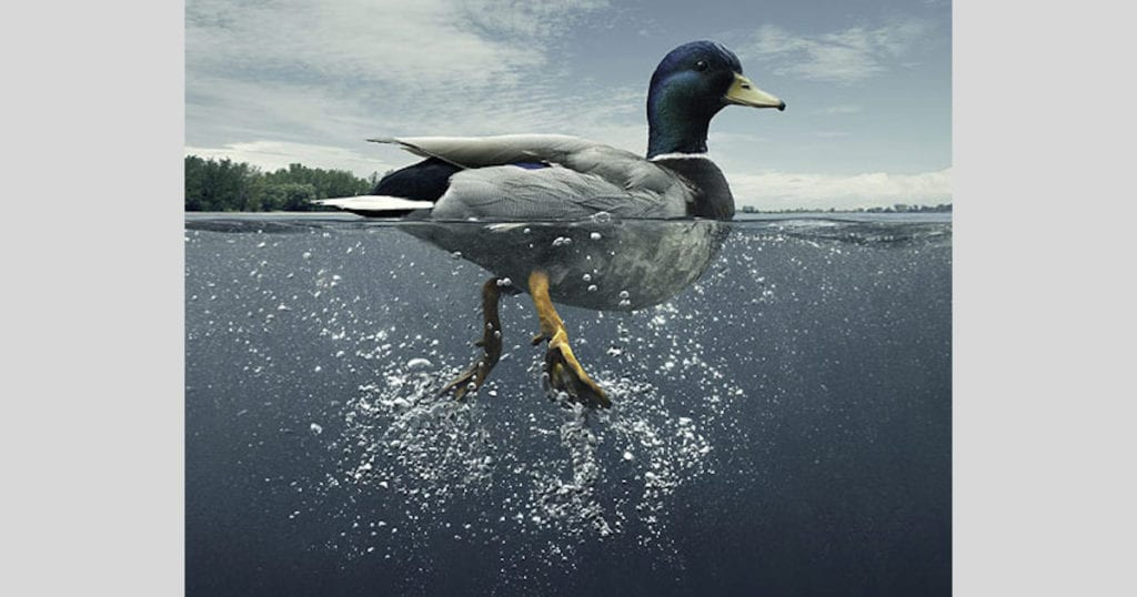 Duck-in-the-water